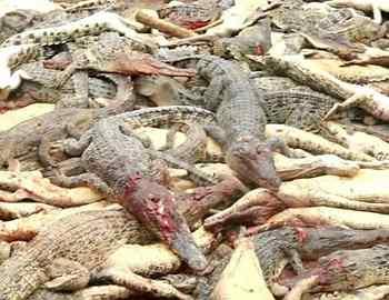 убитые крокодилы толпой