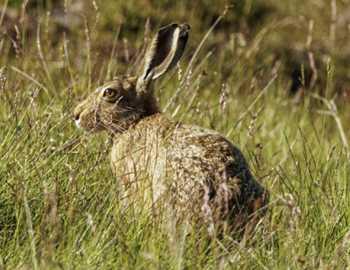горный заяц