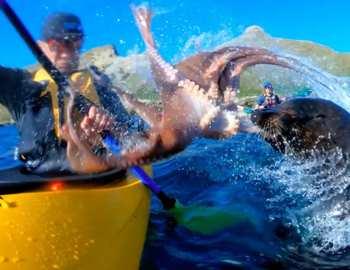 осьминог полетел в лицо каякера