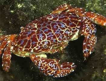 токсичный рифовый краб