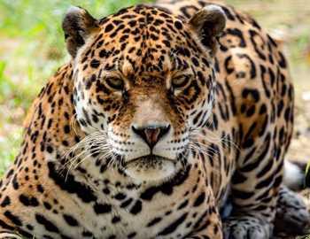 грозный леопард