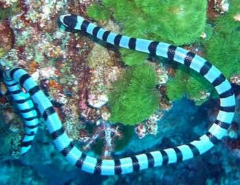 морская змея над кораллом