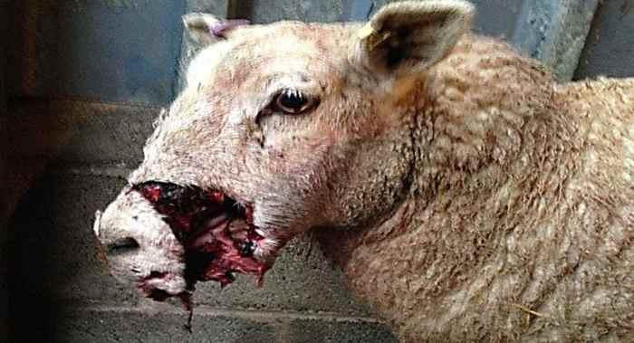 овцу ранила собака