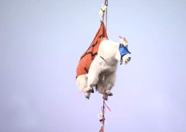 перевозят горного козла