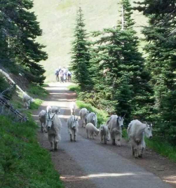 горные козлы гуляют по тропе