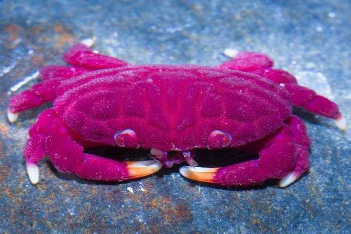розовый токсичный краб