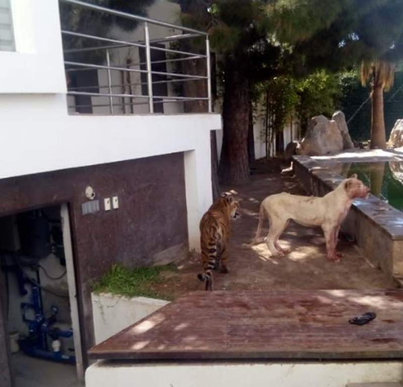 тигр и львица