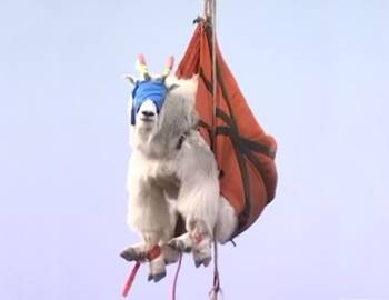 транспортировка по воздуху горного козла