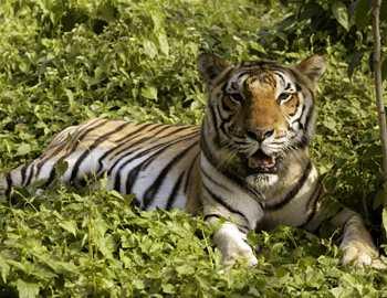 в поисках тигра-людоеда