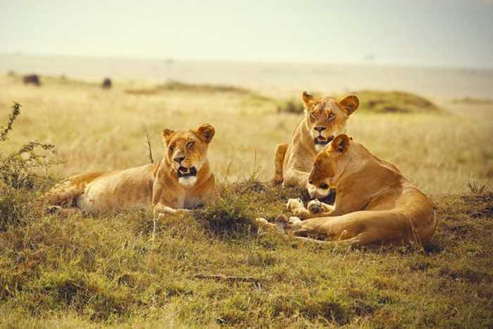 лежат три львицы