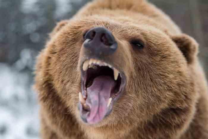 разозленный медведь