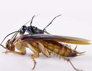 оса напала на таракана