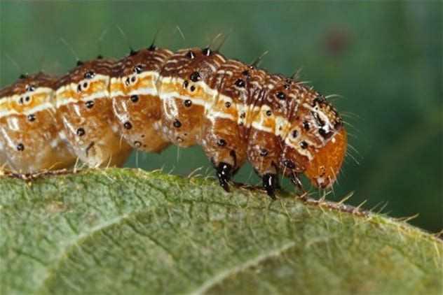 полезная гусеница