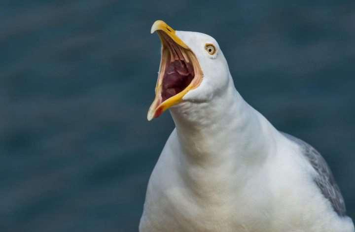 чайка кричит