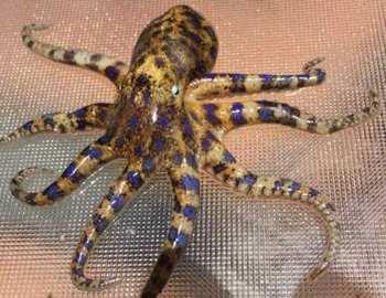 маленький ядовитый осминог