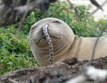 у тюленя из носа торчит угорь