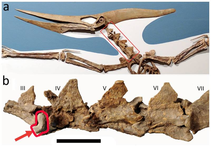 зуб акулы в позвоночнике птеранодон
