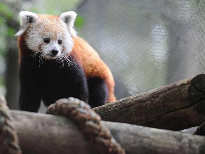 присматривается красная панда