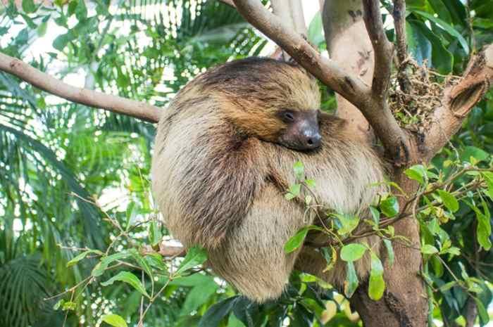 спящий на дереве ленивец