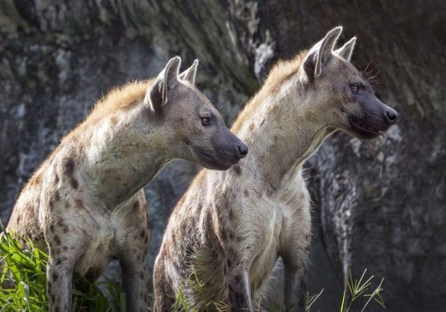 гиены озираются