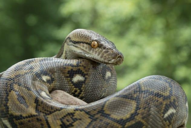 змея наблюдает