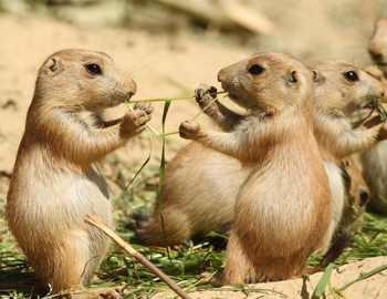 луговые собачки едят траву