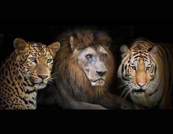 тигр лев и леопард