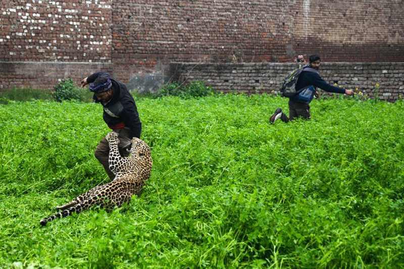 леопард атаковал индийского мужчину