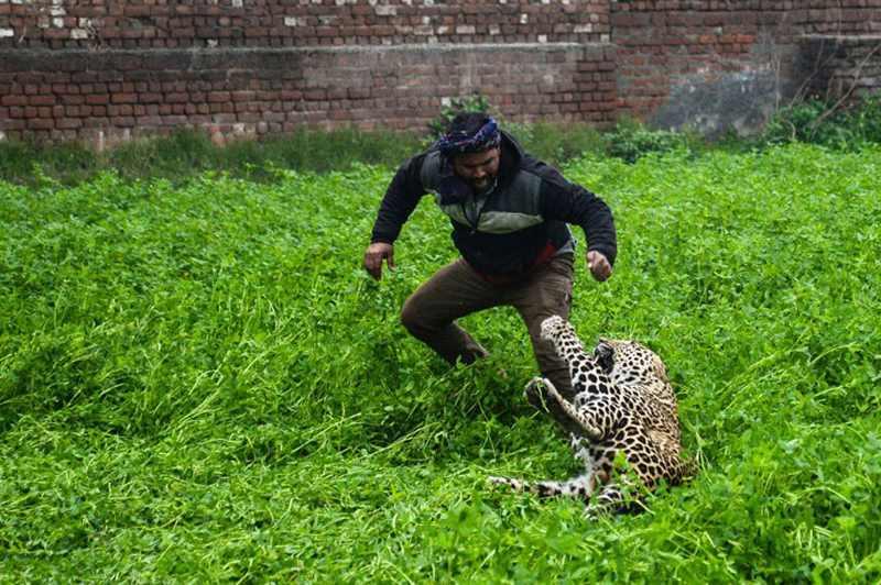 леопард держит мужчину за ногу