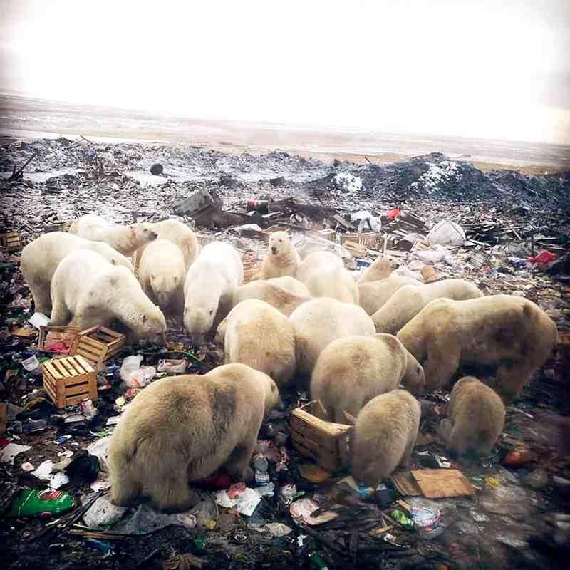 белые медведи на свалке
