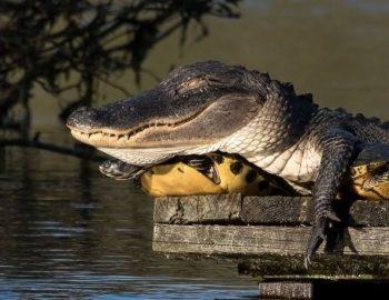 черепаха в качестве подушки для аллигатора