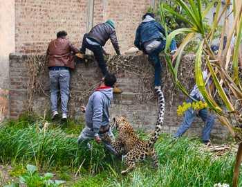 леопард набрасывается на людей