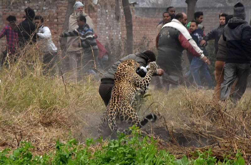 леопард валит мужчину на землю