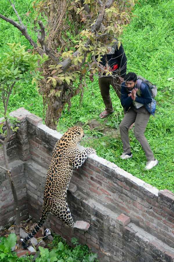 леопард смотрит на очередную жертву
