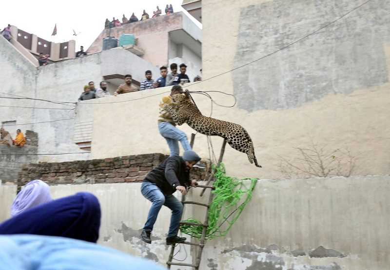 прыжок леопарда на стоящего парня