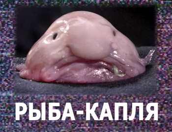 рыба из семейства Psychrolutidae