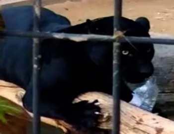 ягуар напал на женщину в зоопарке