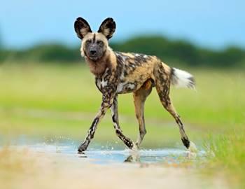 гиеновидная собака