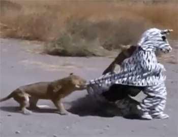 львы напали на парней переодетых в зебру