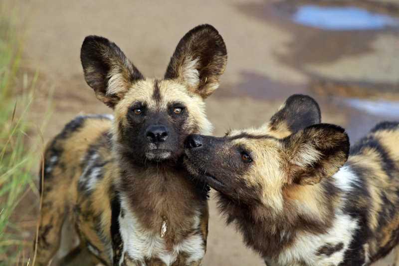 две гиеновые собаки