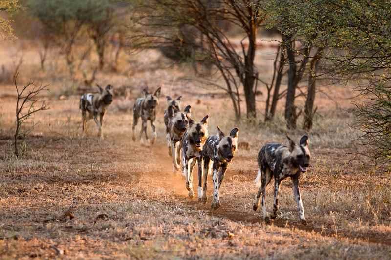 группа расписных волков