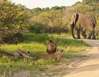 львы и слон убили браконьера
