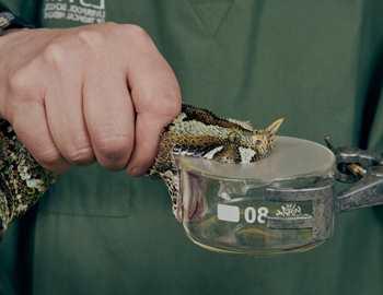 доят змею