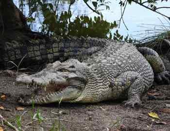 крокодил на Восточном Тиморе