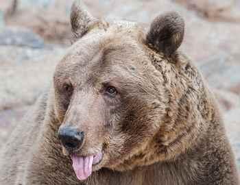 медведь показывает язык