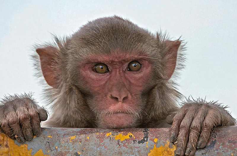 индийская обезьяна