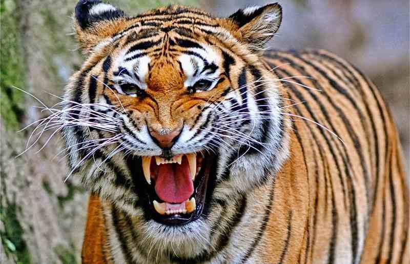 индийский тигр