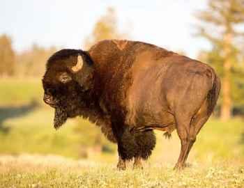 крупный бизон