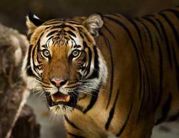 настороженный тигр