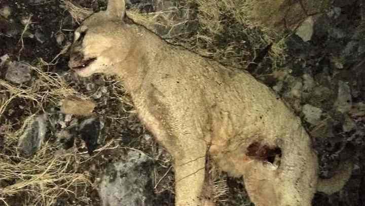 убитая фермером пума